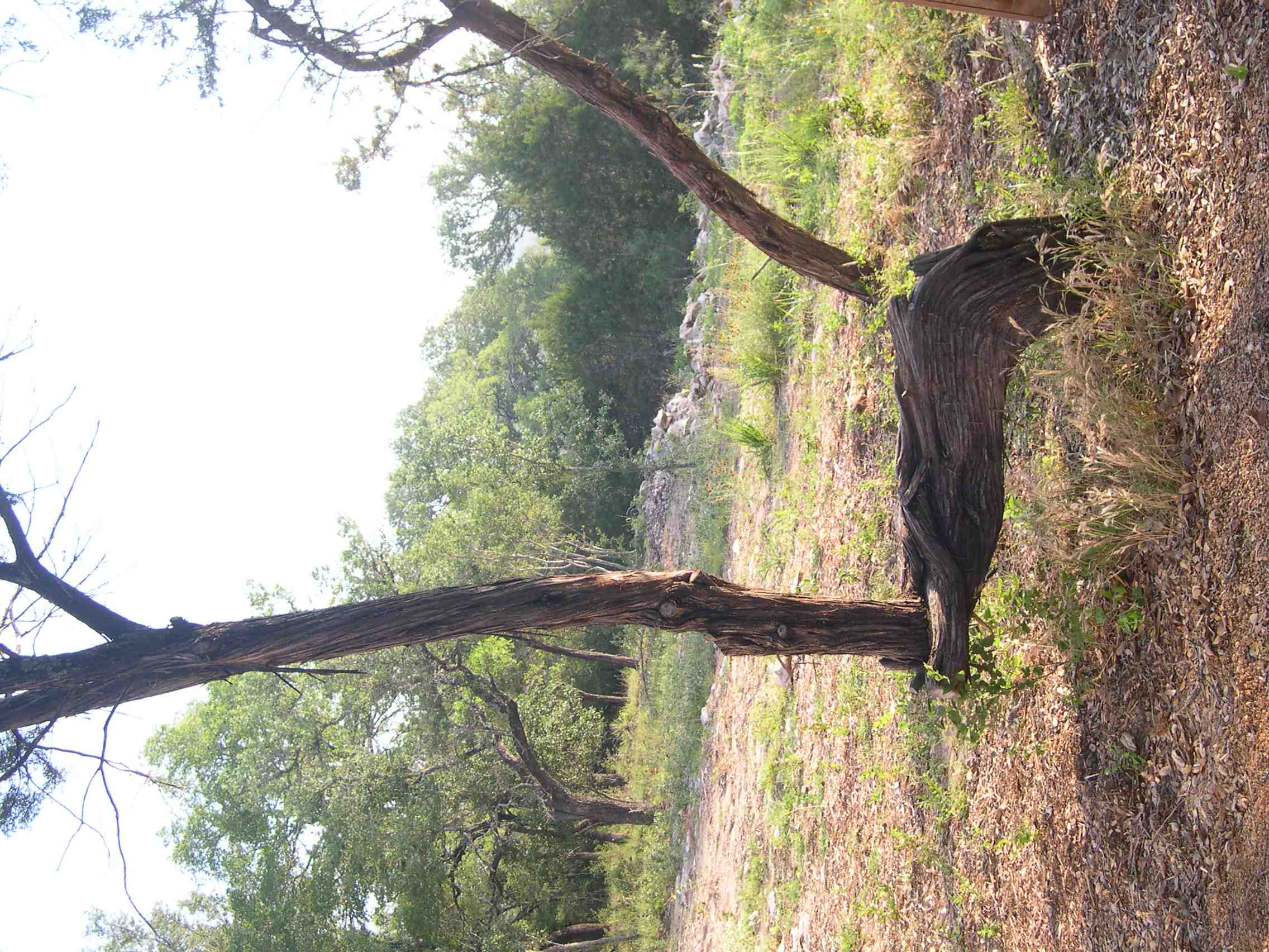 pointing tree dripping springs.jpg